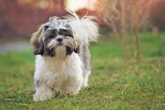 A smal brown,white, and grey Shih Tzu walking in the grass.