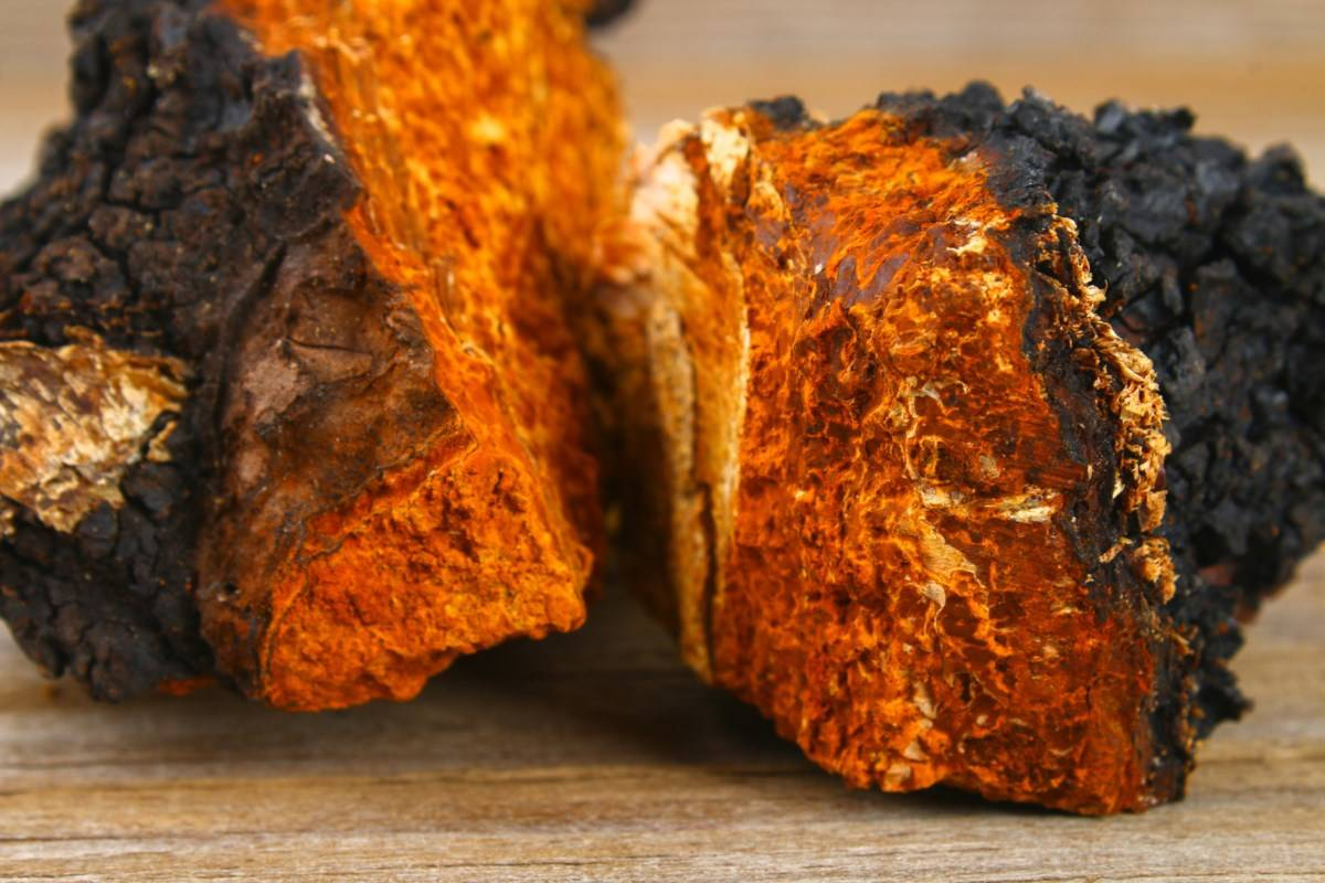 Chaga Mushroom used in super u ground mushroom coffee and shroom coffee with functional medicinal mushrooms.