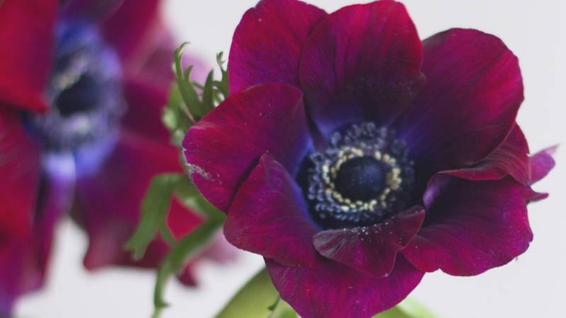 Burgundy Anemone Flower