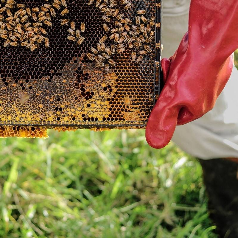 A beekeeper taking the honeycomb from a hive