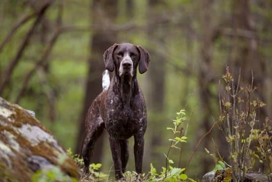 A brown and white hunting dog standing in a forest