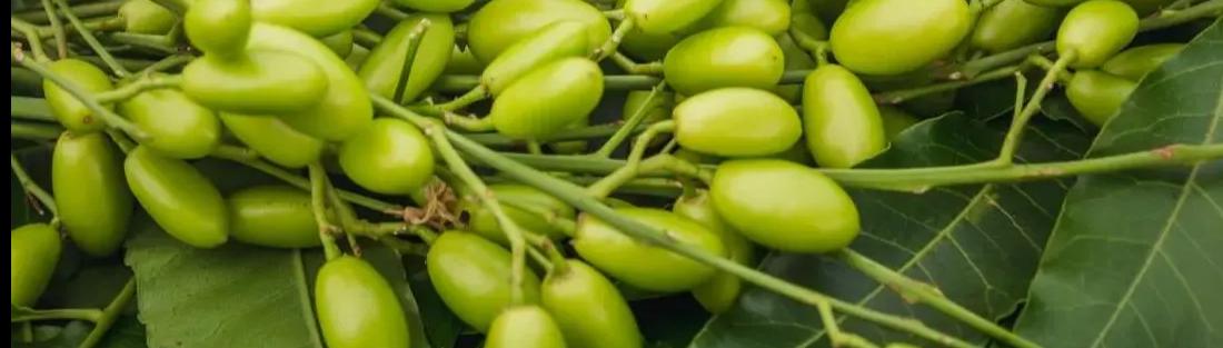Olio di neem biologico idrosolubile antiparassitario per piante orto e giardino contro afidi