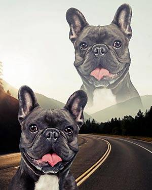 super imposed french bulldog