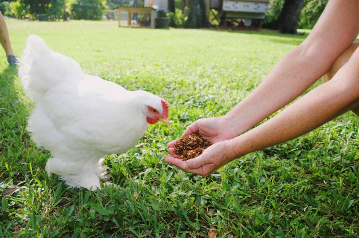 feeding a white chicken grub snacks