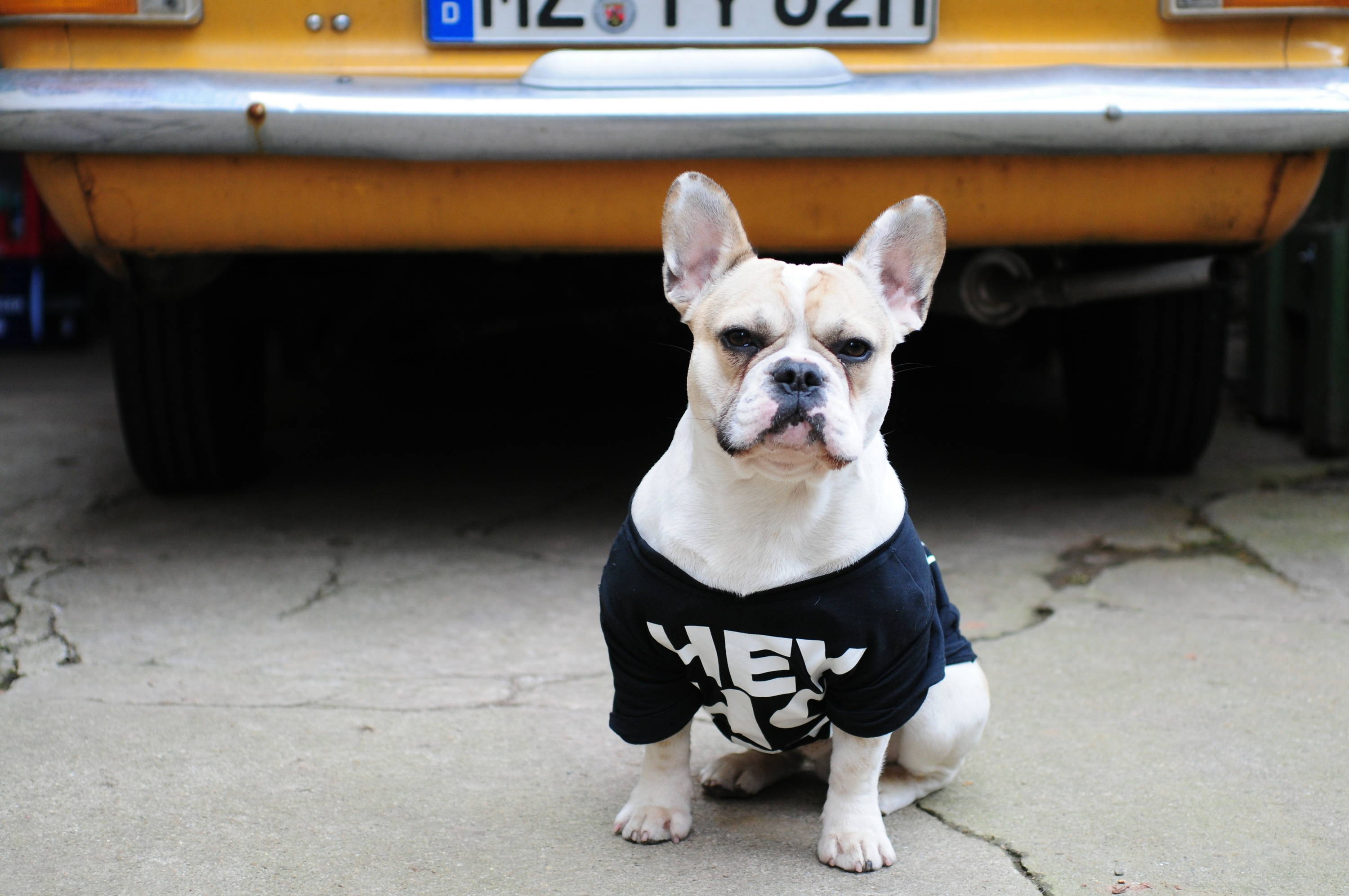 A French Bulldog wearing a t-shirt. Photo by Brina Blum