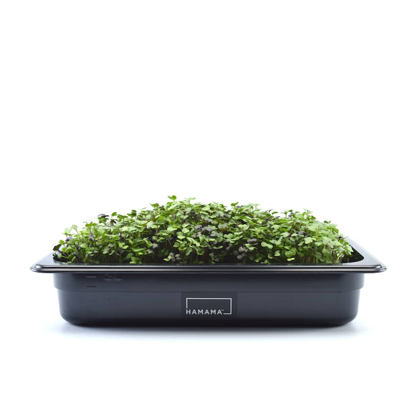Fully grown homegrown salad microgreens in a grow tray.