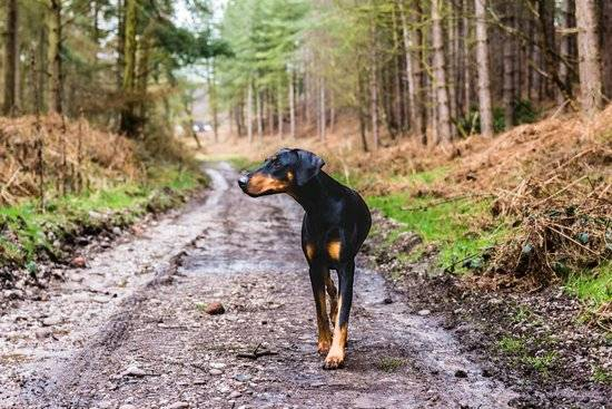A black and tan dog walks down a road in a forest