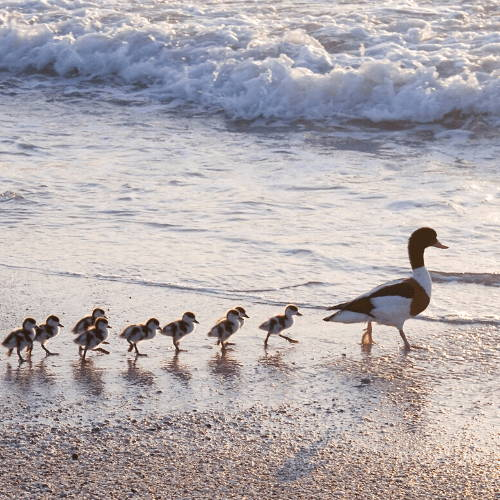 Mother Duck and Ducklings in The Beach