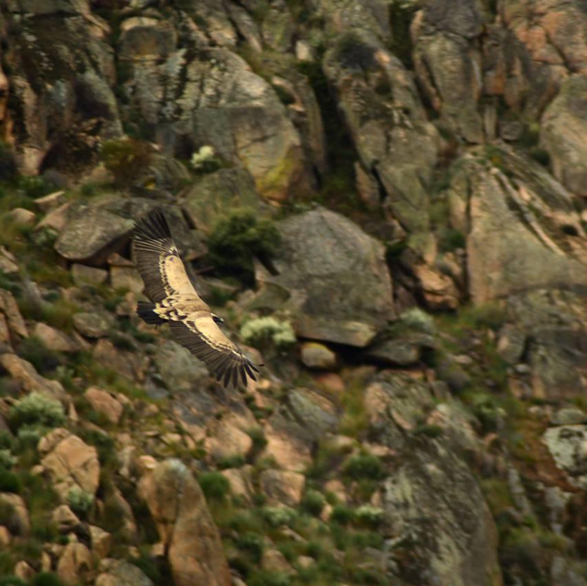 A vulture soaring through the Coa Valley