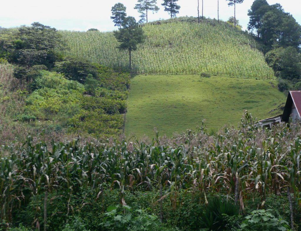 High Quality Organics Express Guatemala Field
