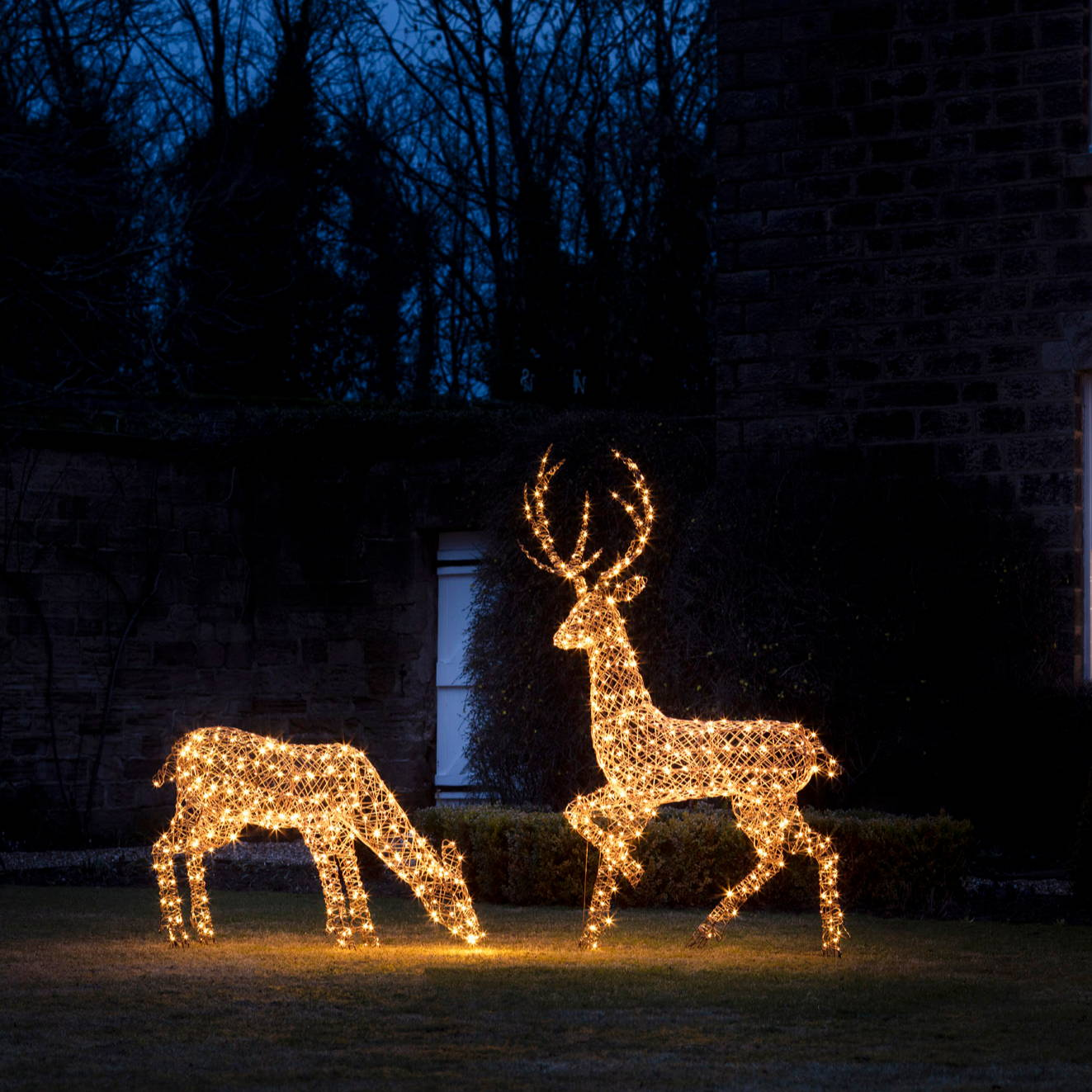 Oversized light up reindeer stag and doe standing on a gardne lawn in early evening creating a warm glow