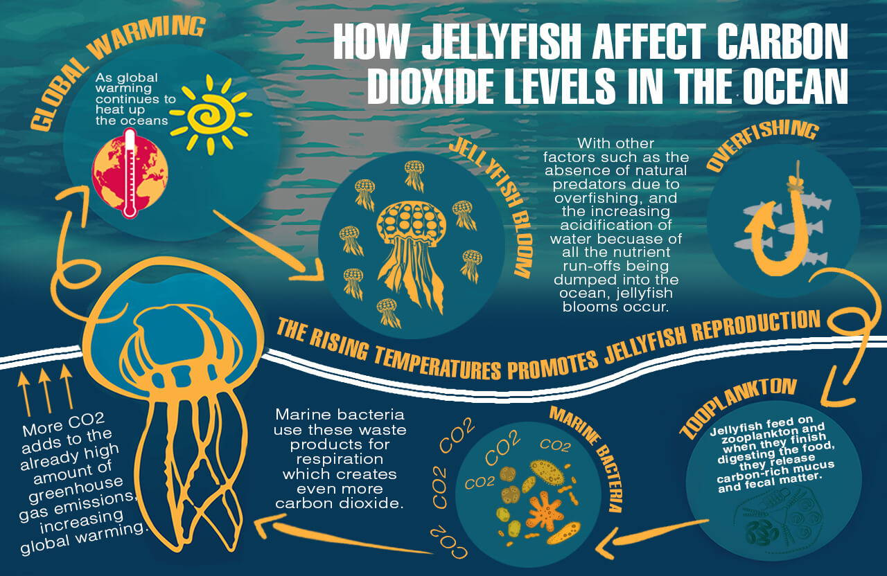 How Jellyfish Affect Carbon Dioxide Levels In The Ocean