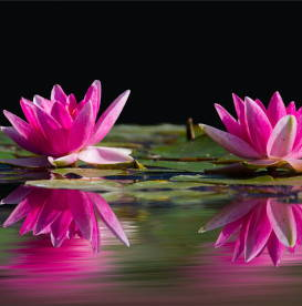 pink-water-lilies-mindfulness