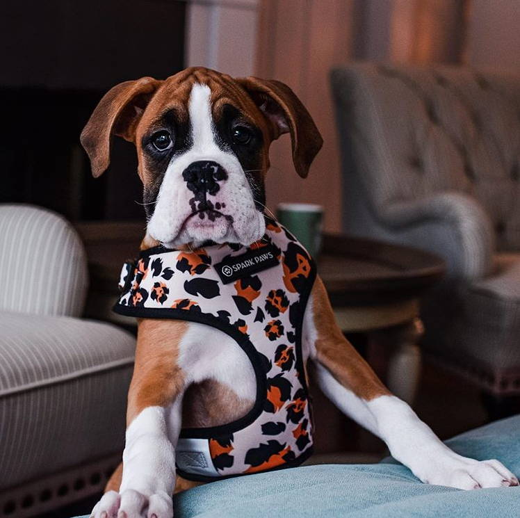 boxer wearing dog harness