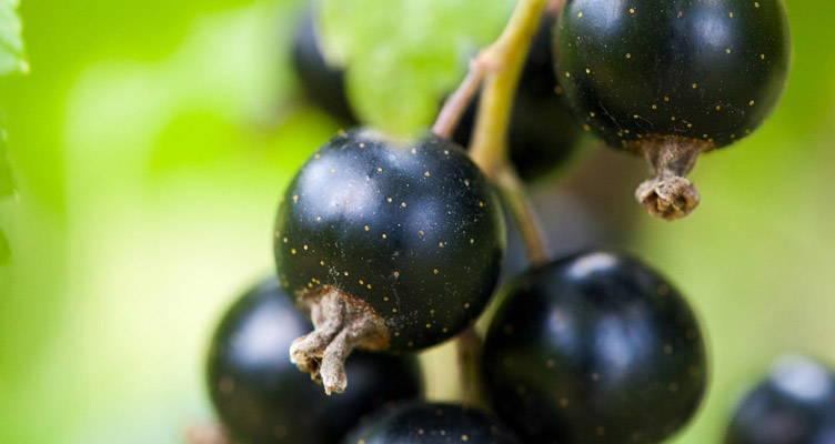 Pruning Blackcurrant