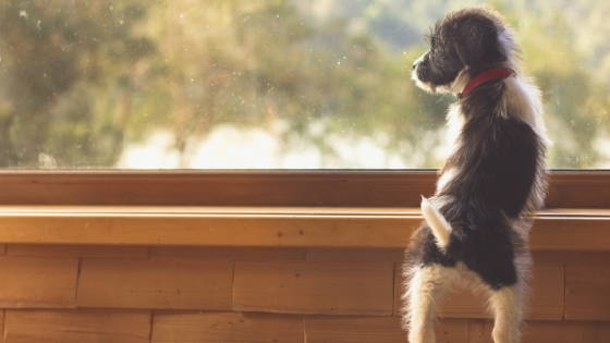 Small black and white puppy looking out of a window