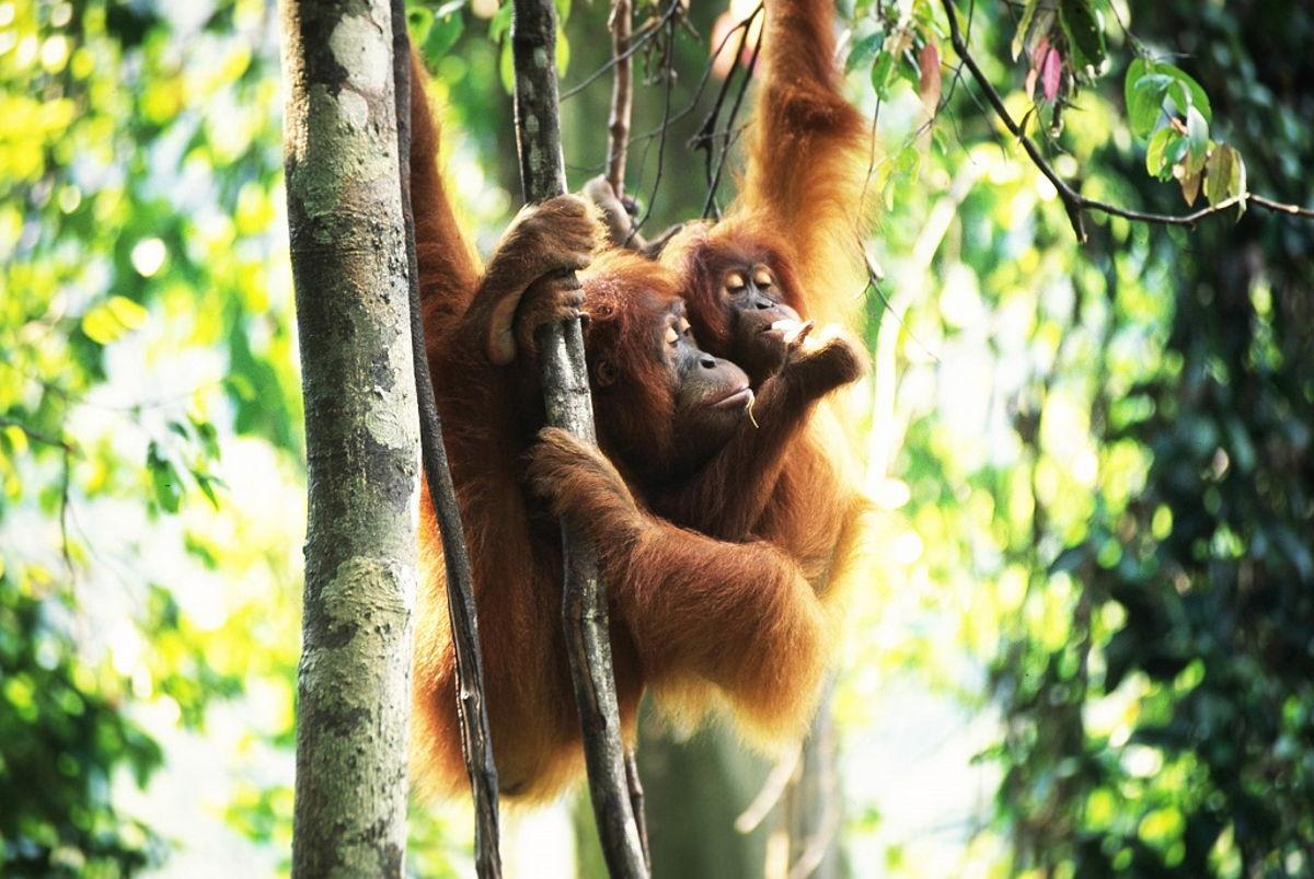 Sumatran Orangutan Society - Komodo Fashion