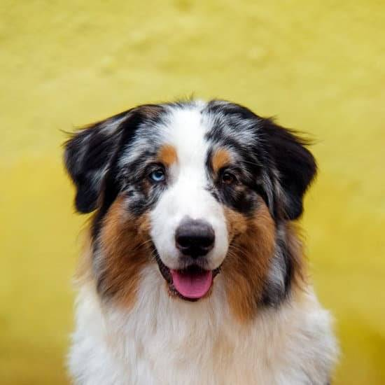 a blue Merle Australian Shepherd with one blue ye and one brown eye looking straight on at the camera
