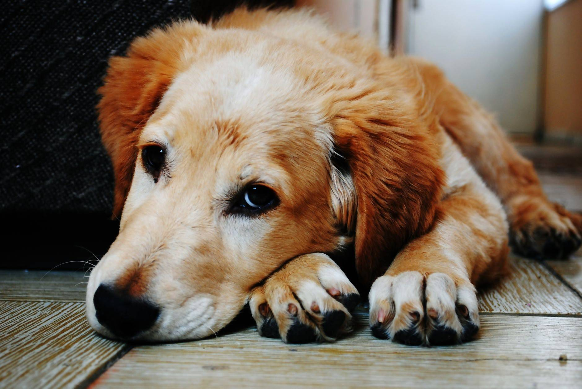 A Golden Retriever feeling cold on the floor in winter