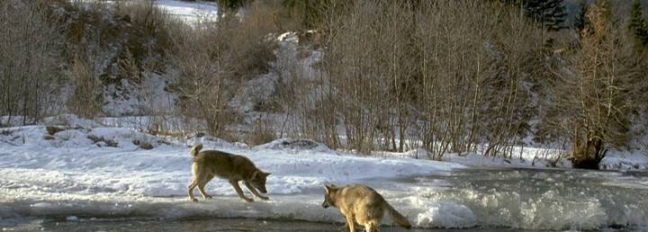 Two wolves play near an icy river in the Southern Carpathians