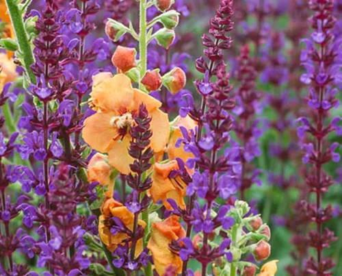 Mix & Match: Fairy Tale Salvia & Verbascum