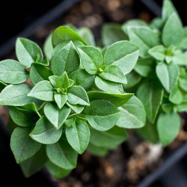 High Quality Organics Express bush basil