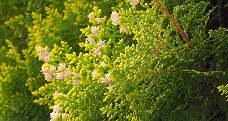 Consigli di piantagione per le conifere