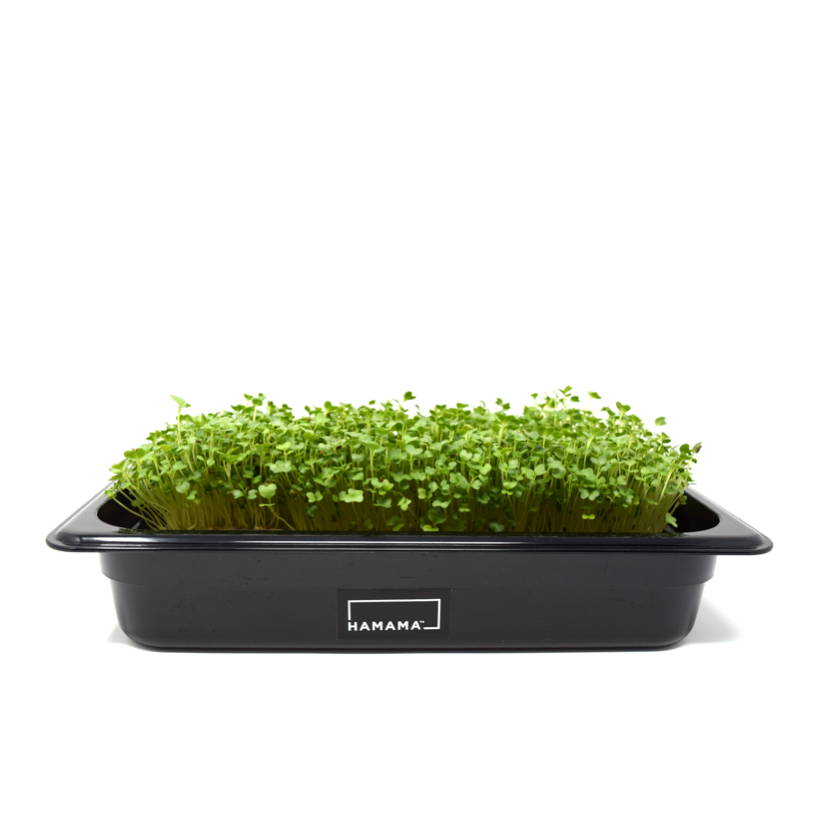 Fully grown homegrown kale microgreens in a grow tray.