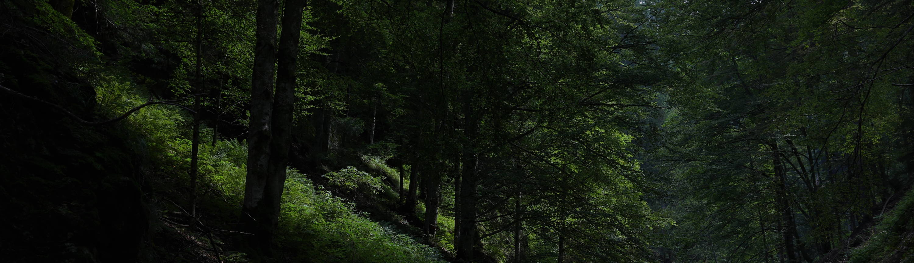 A dense forest in Romania's Southern Carpathians