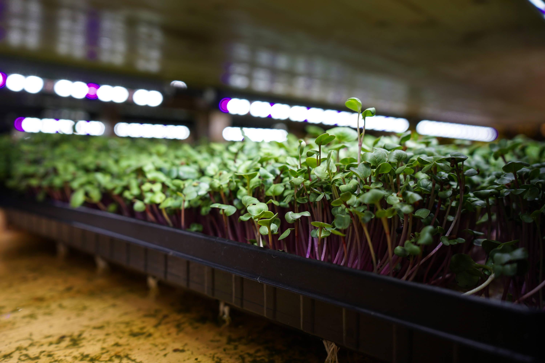China Rose Rettich Micorgreens wachsen ind er aquaponischen Urban Farm