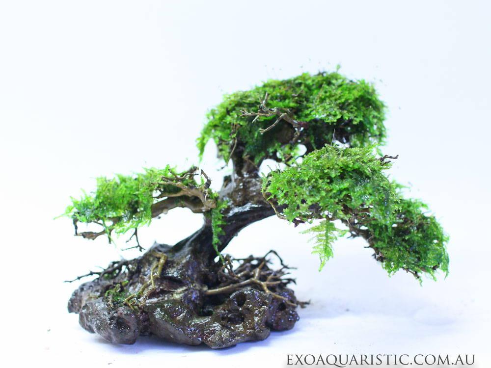 small bonsai wood
