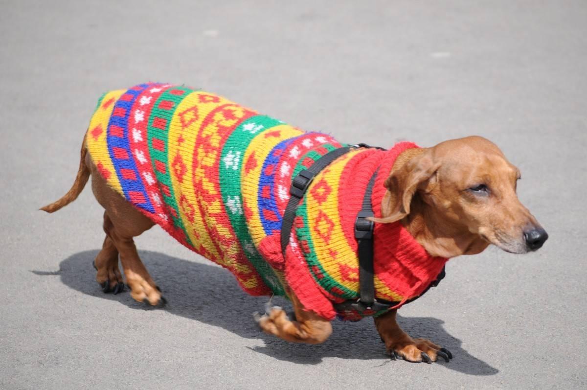 A dachshund in a DIY dog sweater. Photo by Harmon Rapp