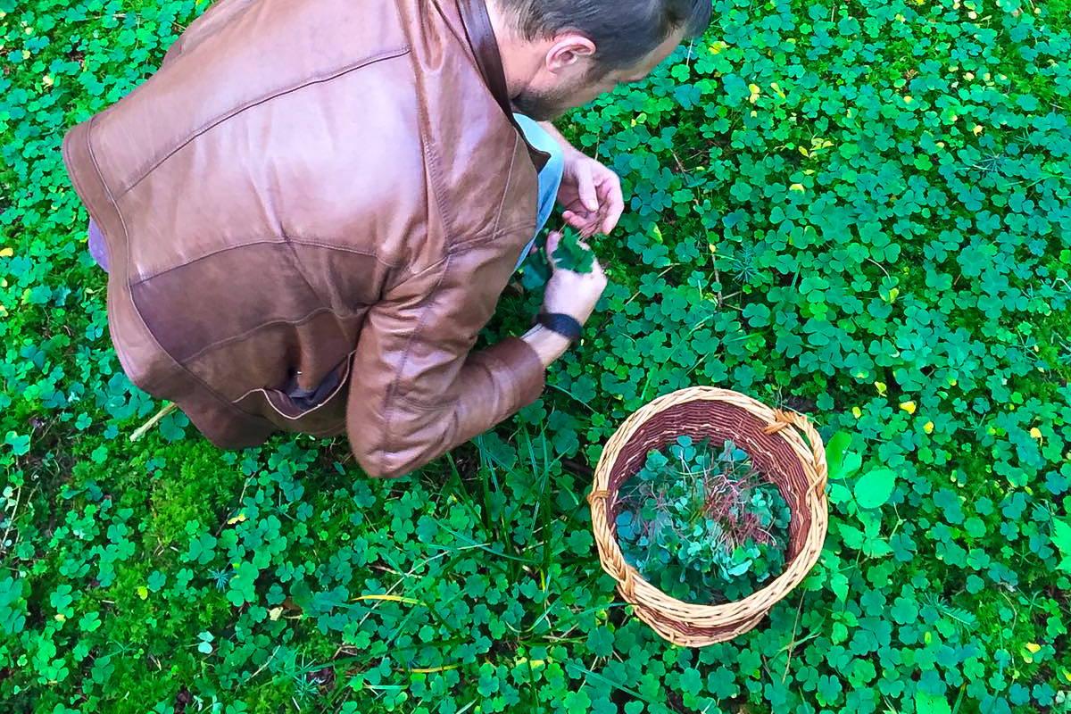 Zwei mal in der Woche sammeln wir den Sauerklee in den Zürcher Wäldern.