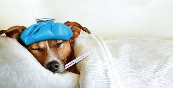 A sick Jack Russell Terrier lays on a white bed under a white over with a thermometer in its mouth and ice pack on head