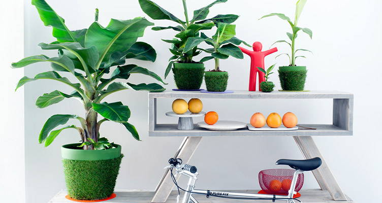 indoor plant banana plant