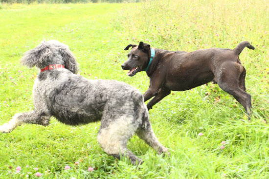 Two large dogs play in a green field