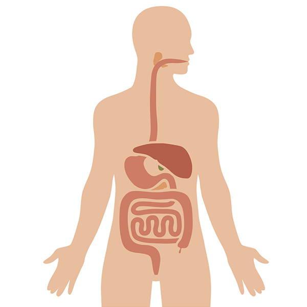 Abbildung des menschlichen Verdauungsapparats