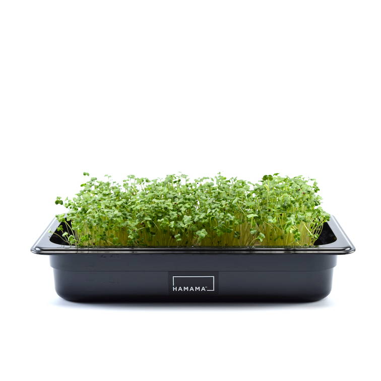 Fully grown homegrown broccoli microgreens in a grow tray.