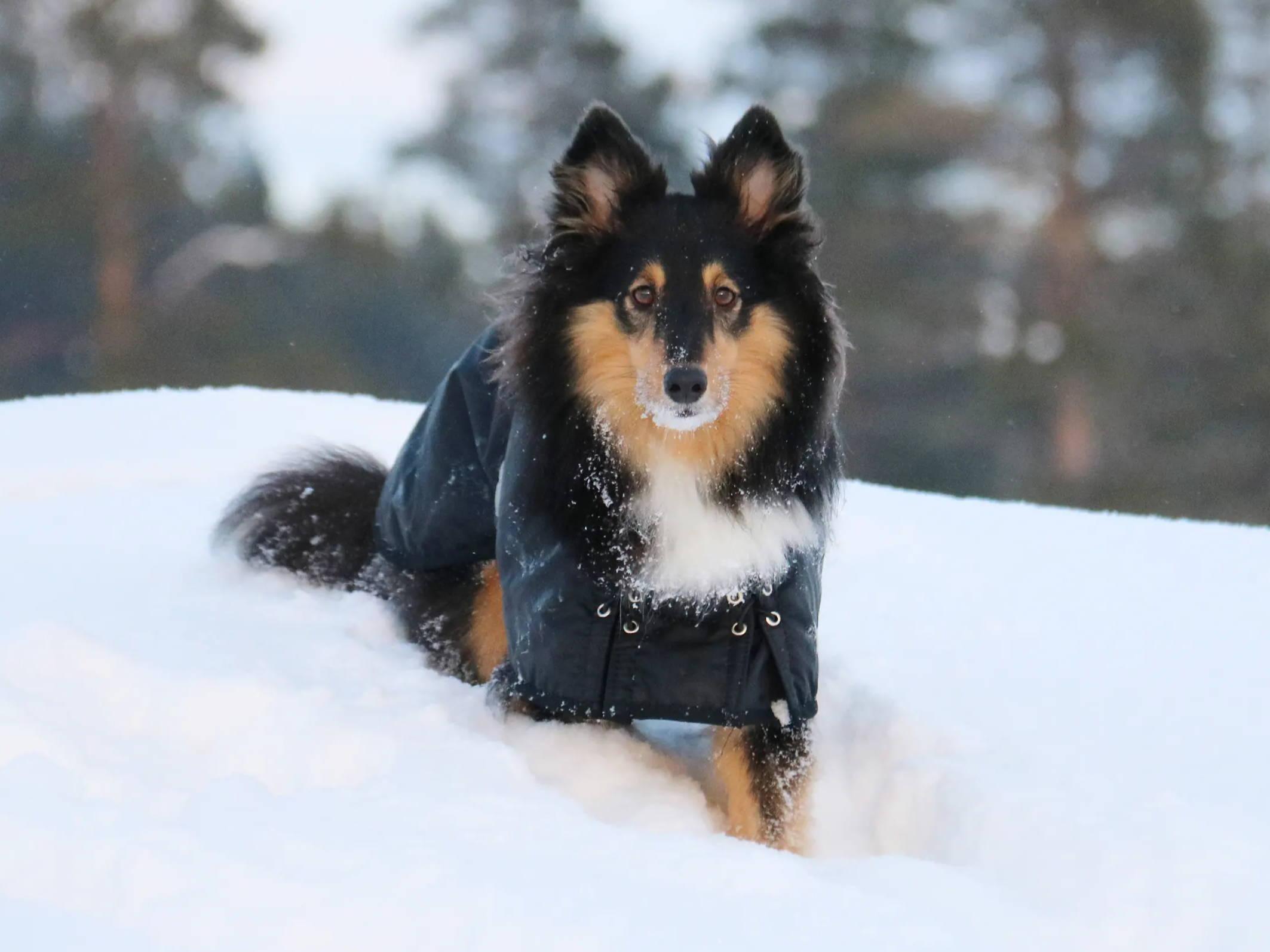 Guide: Så håller du hunden varm i vinterkylan