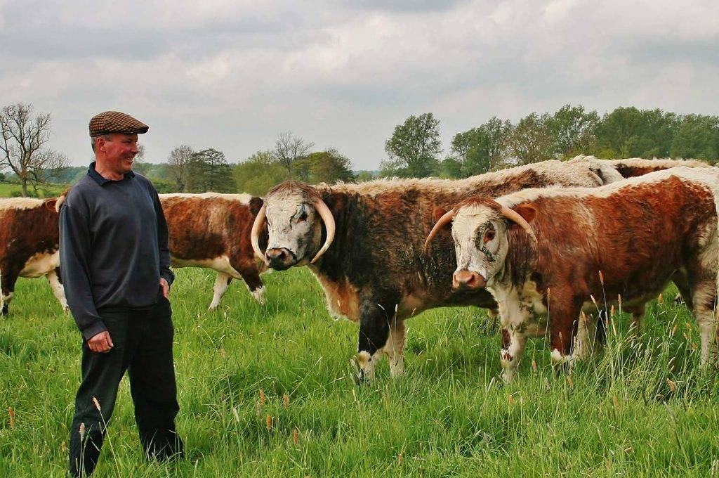 The Rare Breed Meat Company founder hearding a range of cows in a field