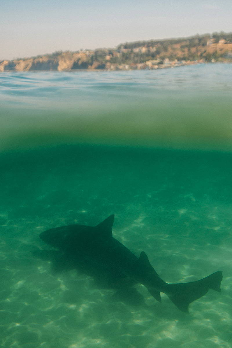 Leopard Shark in La Jolla