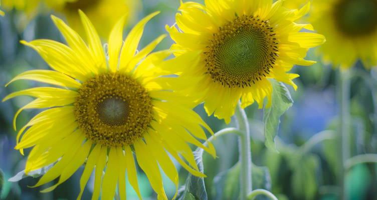 Freude an Sonnenblumen