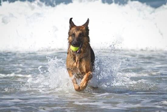 A tan and brown german shepherd with a tennis ball in his mouth running out of the water