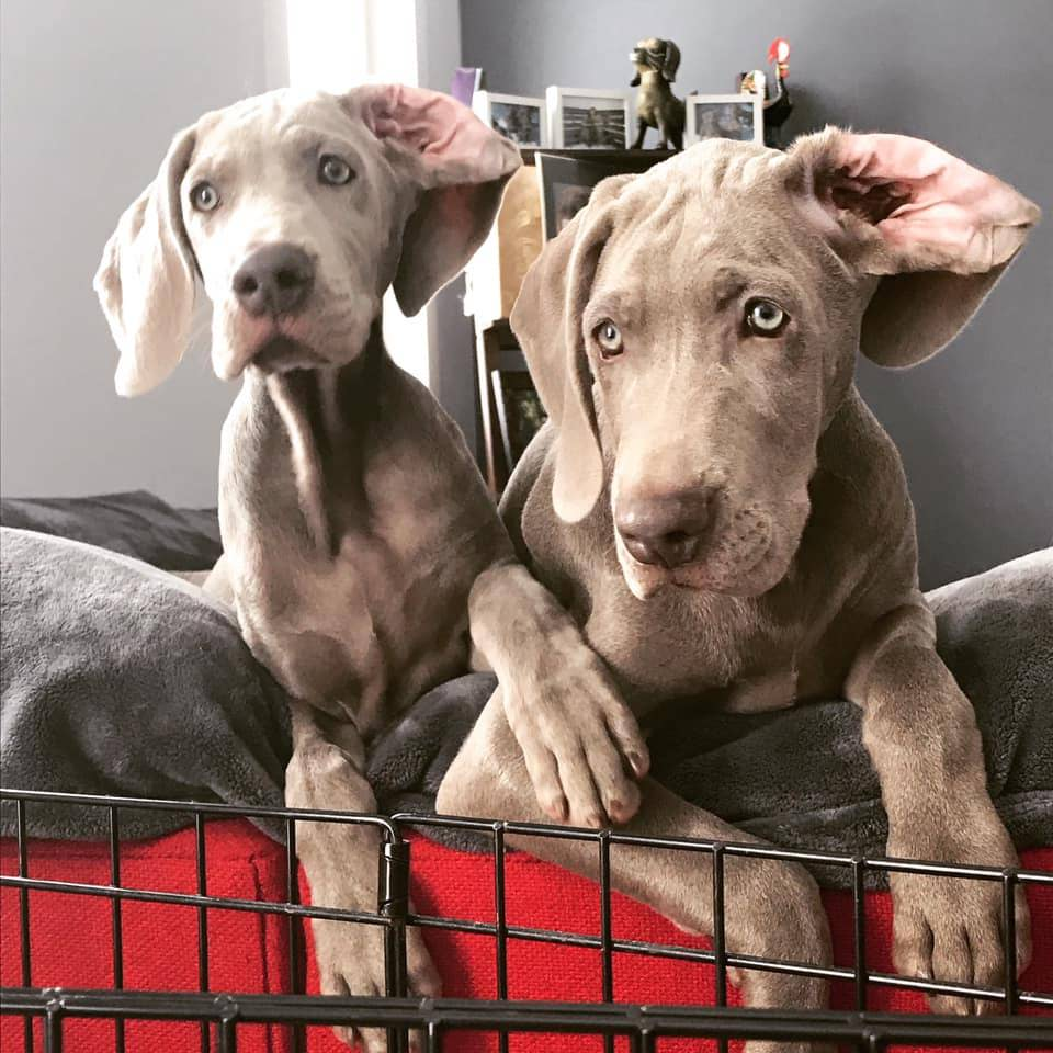 two weimaraner puppies cuddling