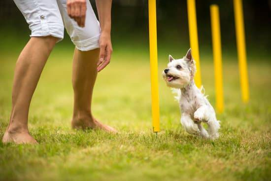 A small dog runs through an agility course with its owner