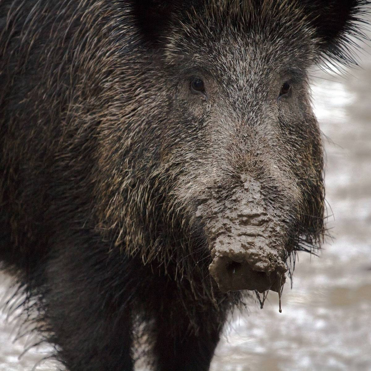 A wild boar with mud all over his snout
