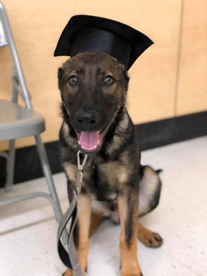 german shepherd dog graduating puppy training school