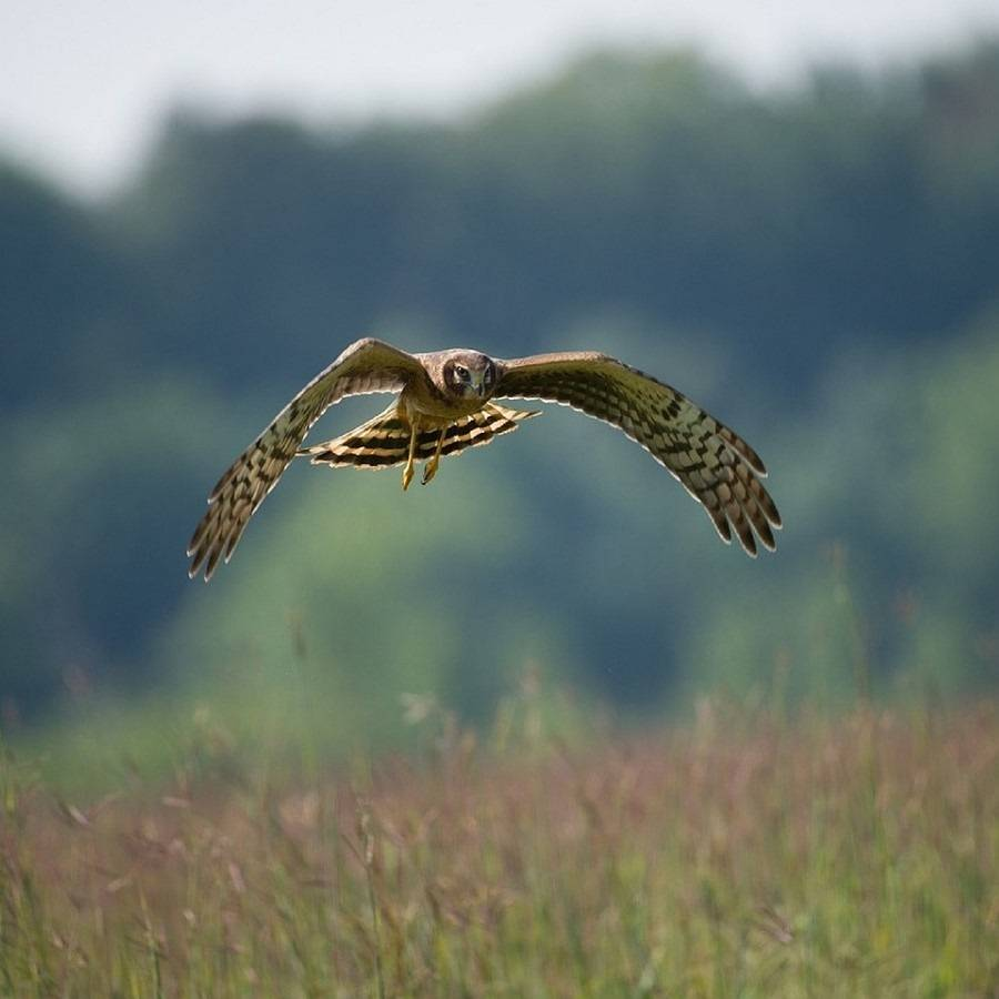 A hen harrier flying low over a field. The hen harrier is an integral part of wildlife in Ireland