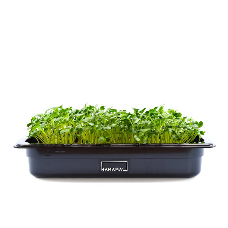 Fully grown homegrown daikon radish microgreens in a grow tray.