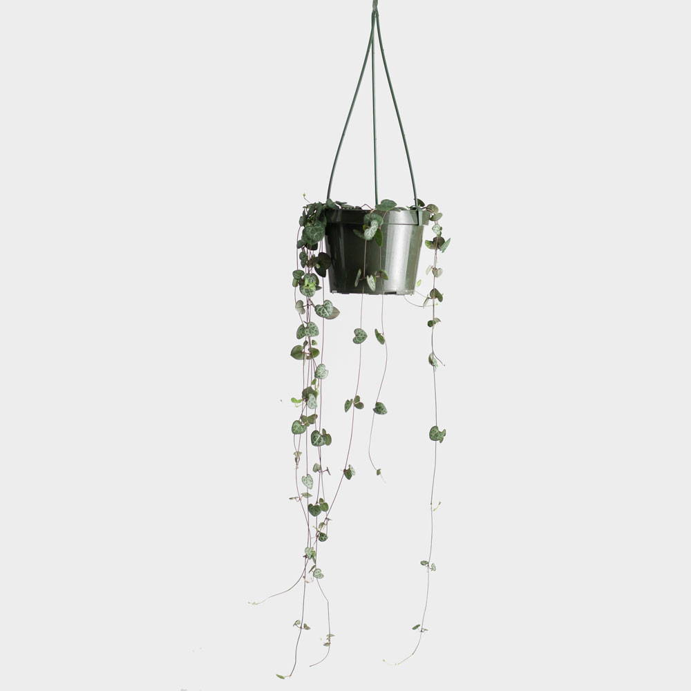 String of Hearts (Ceropegia Woodii) Care Guide
